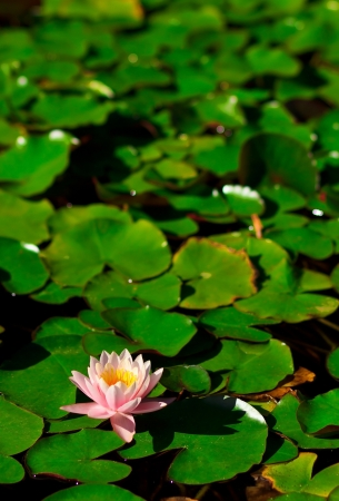 A pink waterlily in a pond photo