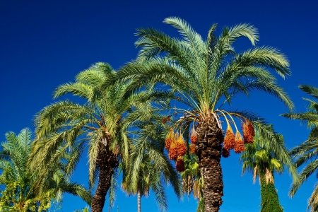 date palm tree: Dates ripening on the palm in Turkey