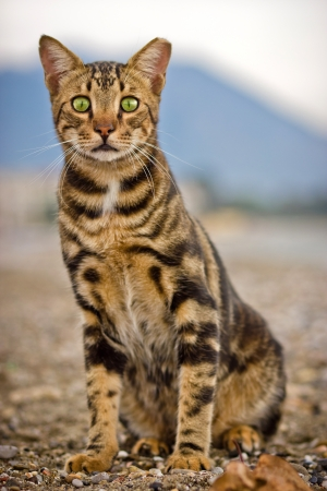 foreleg: Bengal cat looking straight