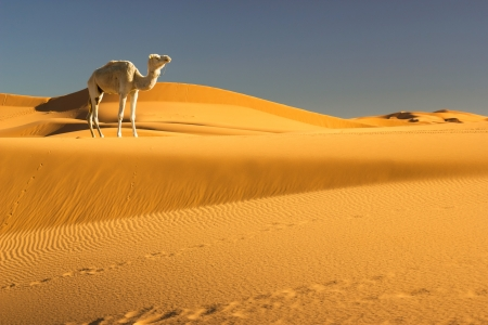 camello: Camello en el desierto del Sahara, Marruecos Foto de archivo