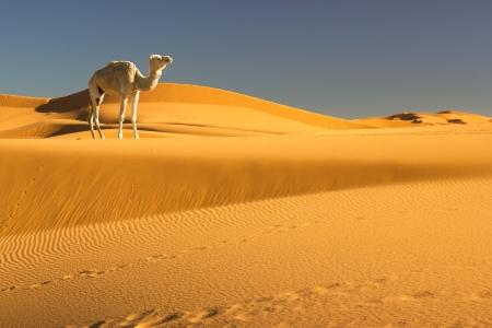 Kameel in de Sahara, Marokko Stockfoto - 16502083