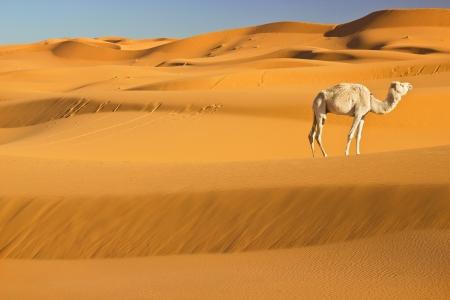 モロッコ サハラ砂漠でのラクダ 写真素材