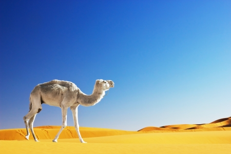 Camel in the Sahara desert, Morocco  photo