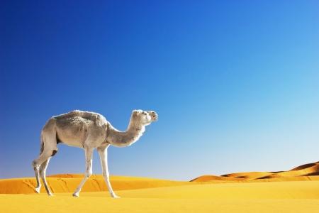 Kameel in de Sahara, Marokko Stockfoto - 17723266