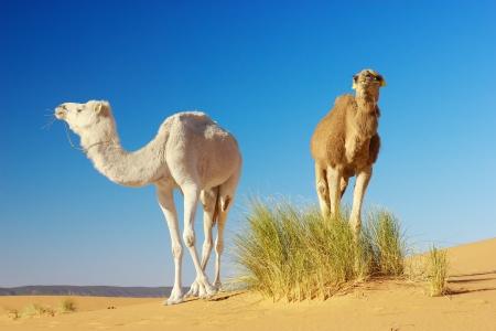 モロッコ サハラ砂漠で草を食べてラクダ 写真素材