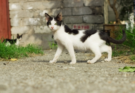 lineage: Black and white yard kitten outdoor Stock Photo