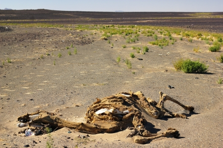 Corpse of camel in Sahara desert, Morocco photo