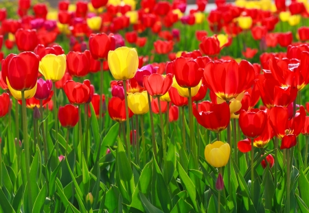 Red and yellow beautiful tulips planted in the ground in spring time photo