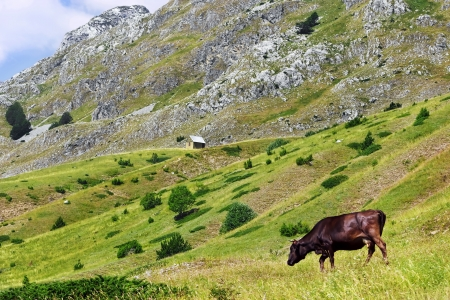 Cow on a green pasture in the mountains of Montenegro photo