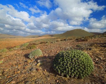 yucca: Cactus growing in the desert