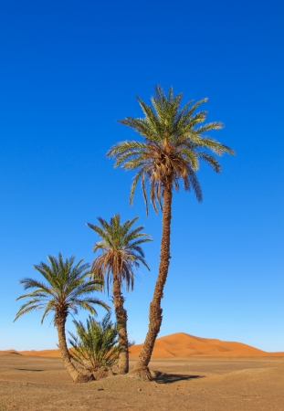 Palmbomen in de Sahara, Marokko