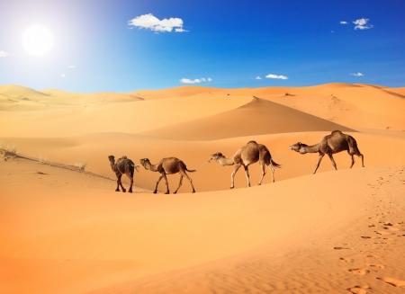 animales del desierto: Caravana de camellos en el desierto del Sahara