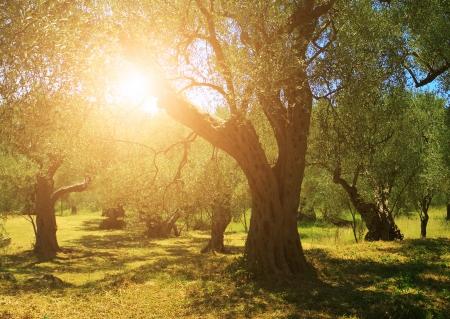 foglie ulivo: Piantagione di alberi di olivo Archivio Fotografico