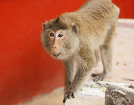 Angry monkey in buddhist temple photo