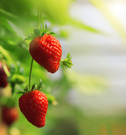 Ripe Strawberry fruits on the branch at the morning light Stock Photo