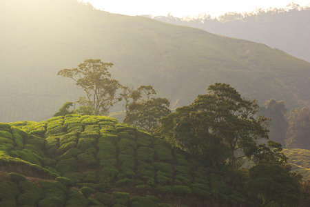 Sunrise at tea plantation landscape, Cameron Highlands photo