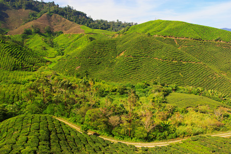 Tea plantation landscape, Cameron Highlands photo