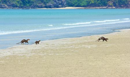 Familie van zee Otter op de kust van Andaman zee, Tarutao eiland