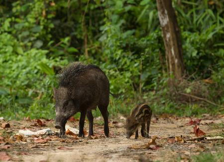 タルタオ島の森の中のイノシシの家族 写真素材