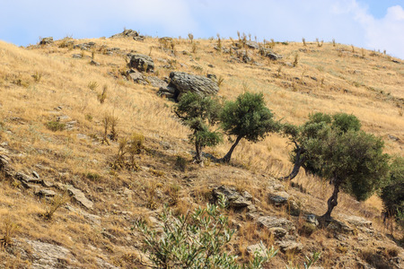 Olive trees in steppe in the south of Turkey