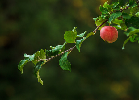 ripening: Apple ripening on the branch of apple tree