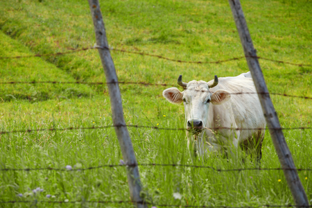 Pleading cow on the green meadow behind the barbed wire fence
