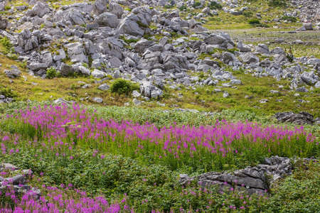 angustifolium: Fields of Chamerion Angustifolium (known as Fireweed) in the mountains of Montenegro