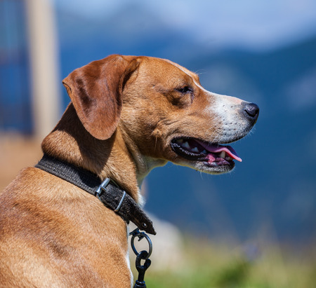 Hunting dog on a leash outdoor Stock Photo