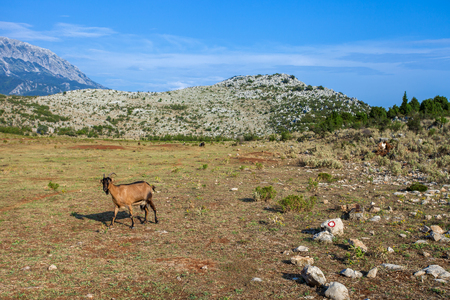 Goat on a pasture in a mountains of Montenegro Stock Photo