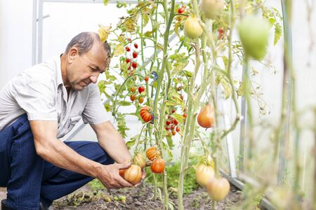 Gardener at his greenhouse looking on harvest of Tomatoes