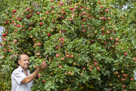 Senior gardener Wondering a harvest of Apples, Apple Tree full of Fruits Stock Photo