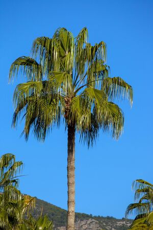 Beautiful Palm tree in a south of Turkey Stock Photo