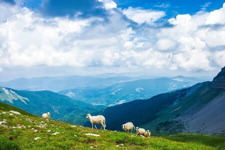 Herd of Sheeps grazing in the mountains  Stock Photo