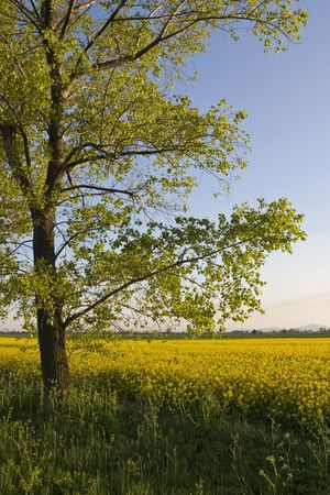 rapeseed: Lone tree at the edge of blooming rapeseed field Stock Photo