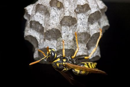 europeans: Large paper wasp queen tending to its nest Stock Photo