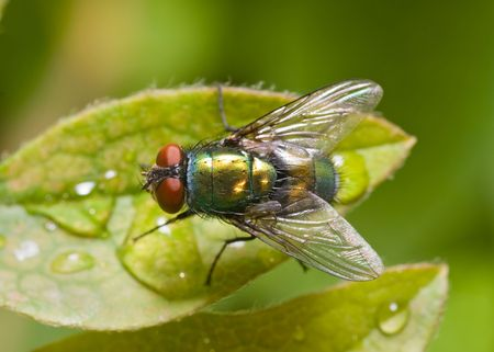 blow up: Common green bottle fly sitting on a dew covered green leaf, top view