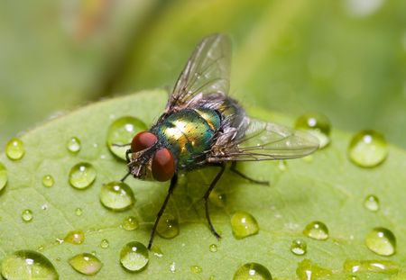 colouration: Common green bottle fly sitting on a dew covered green leaf Stock Photo