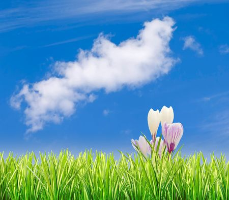 crocuses: Spring crocuses set against blue sky