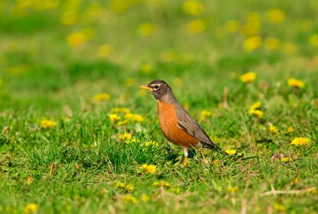 American Robin (Turdus migratorius) searching for food on a dandelion covered meadow photo