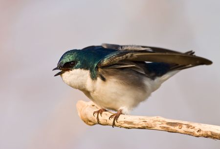 ruffling: Tree Swallow (Tachycineta Bicolor) ruffling its feathers