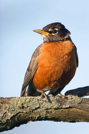 turdus: American Robin (Turdus migratorius) sitting on a tree, looking with curiosity at the camera