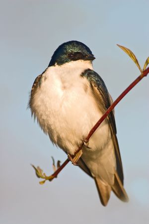 Tree Swallow (Tachycineta bicolor) sitting on a small shrub lit by evening sun photo