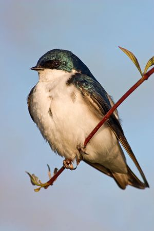Tree Swallow (Tachycineta bicolor) resting on a small branch