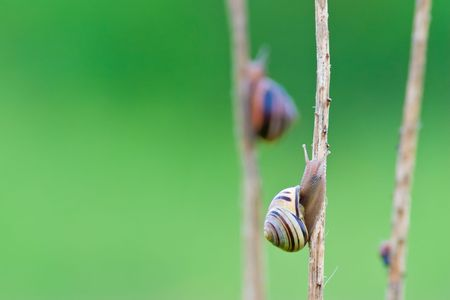 Snail going up on a stick with another snail climbing in the background Banco de Imagens