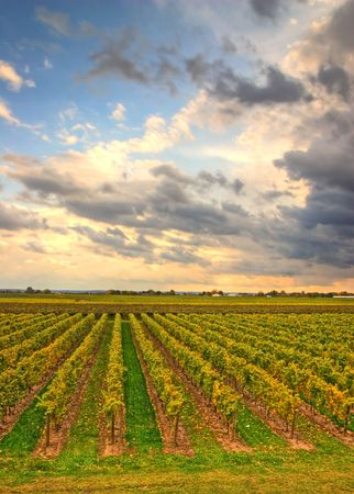 Vineyard in the evening with cloudy sky