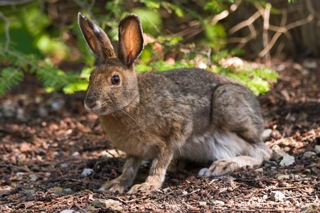 snowshoe: A hare sitting on the forest floor looking at the camera