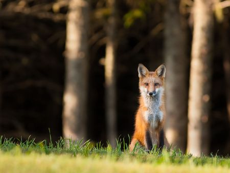 Young red fox sitting on the edge of the forest, looking cautiously at the camera Archivio Fotografico