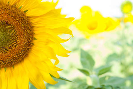 More than a quarter of a blooming sunflower Stock Photo