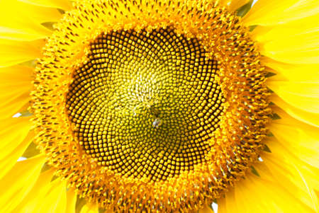 sunflower close-up Stock Photo - 18409751