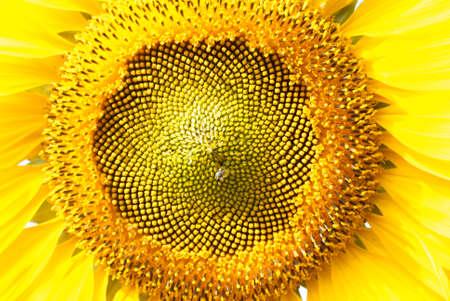 sunflower close-up Stock Photo